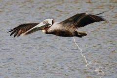 Brun pelikan som pooping Arkivbild