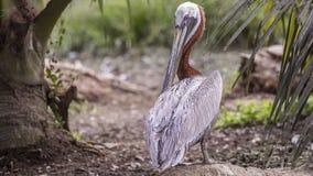 Brun pelikan som skrapar fjädrar Fotografering för Bildbyråer