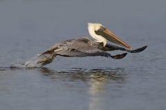 Brun pelikan som tar flyget från en lagun - Fort De Soto Parkera, F royaltyfri fotografi