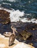 Brun pelikan som ut ser till havet från klipporna i La Jolla, Kalifornien Royaltyfria Foton
