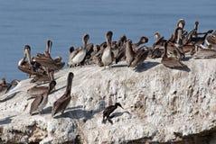 Brun pelikankoloni, Pelecanusoccidentalis Royaltyfri Foto