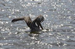 Brun pelikanlandning på solbelyst vatten Royaltyfri Bild