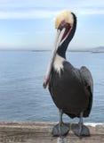 Brun pelikanPelecanus Occidentalis Royaltyfri Bild