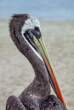 Brun pelikanPelecanus Occidentalis Fotografering för Bildbyråer