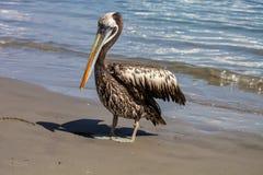 Brun pelikanPelecanus Occidentalis Royaltyfria Foton