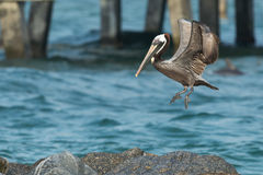 Brun pelikanPelecanus Occidentalis Royaltyfri Fotografi