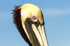 Brun pelikanprofil arkivfoto