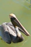 Brun pelikansimning i golf av Mexico Arkivfoton