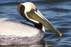 Brun pelikansimning i vatten Arkivfoton
