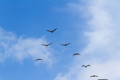 Brun pelikantrupp i flykten Royaltyfria Foton