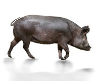 Wild Pig royaltyfri foto