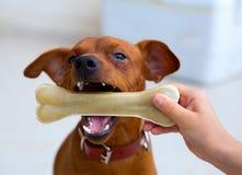 Brun pinscherhund som spelar med benet Arkivfoto