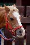 brun ponny Arkivbilder
