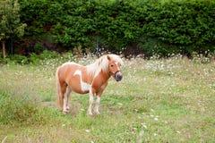 Brun ponny som betar i en äng Royaltyfria Bilder
