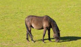 Brun ponny som betar i paddocken Fotografering för Bildbyråer