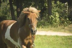 Brun ponnyhäst Arkivfoto