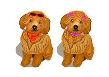 brun poodle Royaltyfria Bilder