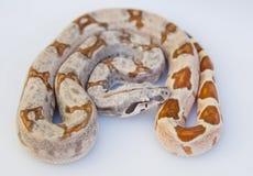 Brun prickig exotisk orm arkivfoton