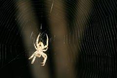Brun prickig Orbweaver spindel i den invecklade rengöringsduken #3 Arkivbilder