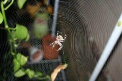 Brun prickig Orbweaver spindel i invecklad rengöringsduk Royaltyfri Fotografi