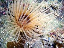 Brun Rör-boning anemon Arkivfoton