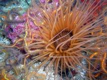Brun Rör-boning anemon som omges av taggiga bräckliga stjärnor Royaltyfria Foton