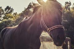 Brun racerbilhäst på stallen Royaltyfria Foton