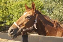 Brun racerbilhäst på stallen Fotografering för Bildbyråer