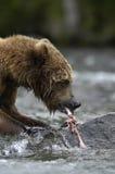 brun riva sönder lax för björn upp royaltyfria bilder
