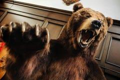 Brun ruskig aggressiv björn med den öppna munnen arkivbild