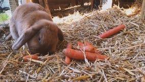 Brun söt kanin äter nya morötter i kaninkaninburen arkivfilmer