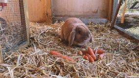 Brun söt kanin äter nya morötter i kaninkaninburen stock video