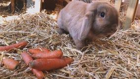Brun söt kanin äter nya morötter i kaninkaninburen lager videofilmer