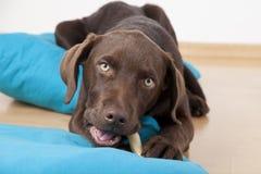 Brun söt labrador hund som ligger på kuddar Arkivbild