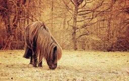 Brun Shetland ponny på beta Arkivbilder