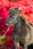 Brun Shetland ponny på röd bakgrund Royaltyfria Foton