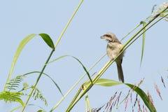 brun shrike för fågel Arkivbild