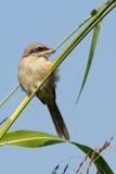 brun shrike för fågel Royaltyfri Foto