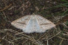 Brun Silver-linje Petrophora chlorosata Fotografering för Bildbyråer