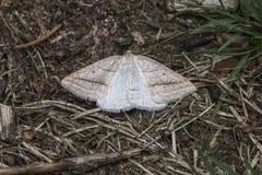Brun Silver-linje Petrophora chlorosata Arkivbild