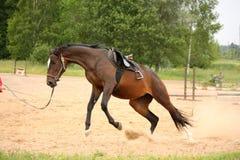 Brun skämtsam latvian avelhäst som sparkar bakut och försöker att få befriat Arkivfoto