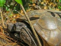 brun sköldpadda för gophermichael foto r Arkivbild