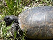 brun sköldpadda för gophermichael foto r Fotografering för Bildbyråer