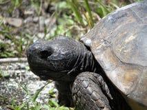 brun sköldpadda för gophermichael foto r Arkivbilder