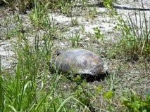 brun sköldpadda för gophermichael foto r Arkivfoto