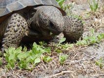 brun sköldpadda för gophermichael foto r royaltyfri bild