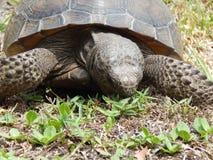 brun sköldpadda för gophermichael foto r royaltyfri fotografi