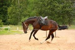Brun skämtsam häst som galopperar på linjen Royaltyfri Fotografi