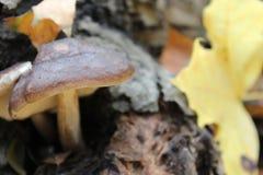 Brun skogchampinjon på en suddig bakgrund arkivfoton
