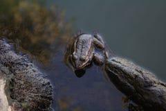 Brun skoggroda som sitter i dammet och det väntande på rovet royaltyfri foto